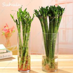 Indoor Bonsai Plant 30 Pcs Rare Exotic Lucky Bamboo Seeds Colorful Bambusa (Golden Bamboo) Perennial Moso Bamboo Easy Grow