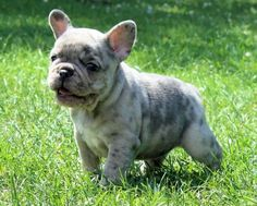 French Bulldog Breeder http://www.worldoffrenchies.com/french-bulldog-breeders/