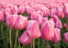 Resultado de imagem para tulipas rosas