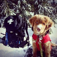 "Barrett a.k.a. ""Bear"", the new avalanche pup at Mt. Hood Meadows"
