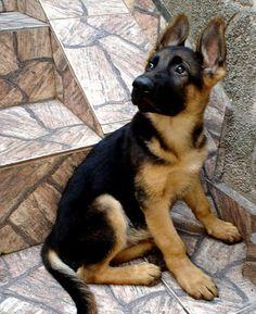 fotos de filhote pastor alemão - Pesquisa Google