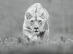 lion prawling