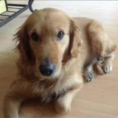 This is Autumn Dona - 7 yrs. She is spayed, current on vaccinations, potty trained, has good house manners, walks well on leash, good with cats & kids. Autumn was sad & missed her family when first coming to rescue but is perking up & is happier. Golden Retriever Rescue of Mid-Florida. http://www.grrmf.org/adopt/index.html
