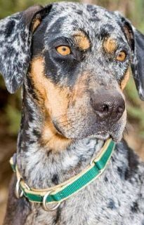 Louisiana Catahoula Leopard Dog is an American dog breed named after Catahoula Parish, in the state of Louisiana, in the United States.