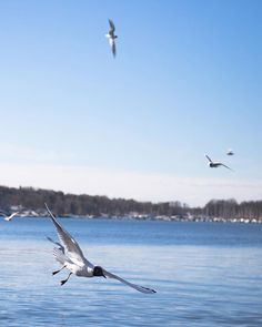 A flying weekend for the sea birds of Norway