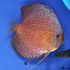 Snakeskin Discus: Developed from Turquoises discus with  fine pattern of lines or striations.  Most have 14 vertical bars.
