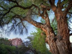 Cottonwood Trees and Rock Formations with Moon Fruita Capitol Reef National Park Utah by Dennis Frates  http://ift.tt/1PyUiSv  #standard #forests #photographers #dennisfrates #utah #bark #cottonwoodtrees #treetrunk #trunk #capitolreefnationalpark #fruita #moon #newspringgrowth #treebark#like4like #picoftheday #photooftheday #canvasprints #rolledcanvas #gallerywrapped #prints #follow #like4follow