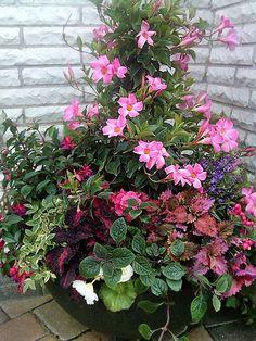 Pink mandevilla vine, pink Non-stop begonia, pink & purple fuchsia, pink & purple coleus, blue angelonia, nico vine, variegated ivy