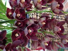 Burgandy Cymbidium Orchid