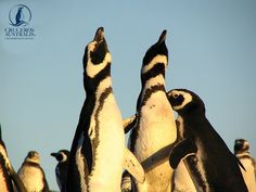 The penguins are calling your name to come to Patagonia ! http://www.australis.com/site/en/