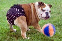 OH MY!!!!! Are those panties on this BullDog? See how BOLD dog lingerie is taking the US by Storm!