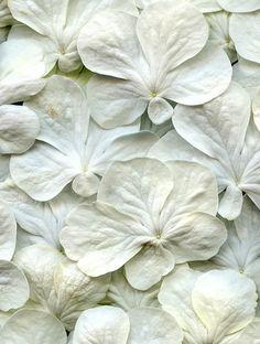 54304-05 Viburnum plicatum forma tomentosum 'Shasta' | Flickr - Photo Sharing!