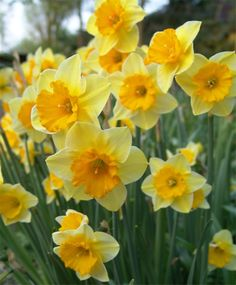 Narcissus Derringer - Jonquilla Narcissi - Narcissi - Flower Bulb Index Yellow Flowers, Spring Flowers, Beautiful Flowers, Narcissus Flower, Gladiolus, Spring Perennials, Spring Bulbs, Bulb Flowers, Mellow Yellow