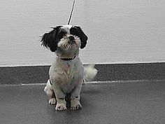 SEAACA (SOUTHEAST AREA ANIMAL CONTROL AUTHORITY) (562) 803-3301 9777 Seaaca Street Downey, CA 90241 ABOUT 17-11553 17-11553 Shih Tzu Mix White/Black Impounded on 12/09/2016 from Norwalk Available for adoption holds on 12/09/2016. Adoption availability Date 12/14/2016. Adoption holds must be placed in person. Please visit SEAACA to see me. MORE ABOUT 17-11553 Pet ID: 17-11553