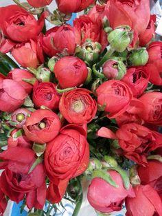 Belles renoncules rouges /red renoncules