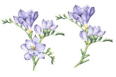 Set of Watercolor Freesia Flowers - Illustrations