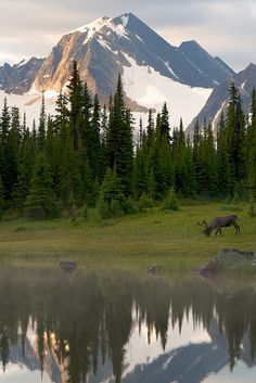 Bull woodland caribou at Sunrise, Tonquin Valley, Jasper National Park by Michael James Imagery
