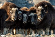 """Guardian - Musk Ox - There are about 10 moments in the life of a photographer which are just insane and absolutely rare. One of this moments I witnessed in Greenland in 2014. After days of looking for Musk Ox in the very end of the """"World"""" at the Iceshield of Western-Greenland I found a group of Musk Ox. I spent a half a day with them and I went closer and closer. Once I came to close the bigger Musk Ox protected the younger and this very moment I took this photograph."""