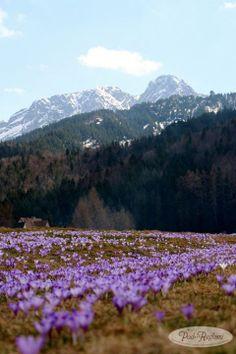 Tatry wiosna - 21 kwiecień 2013 roku, Giewont, krokusy
