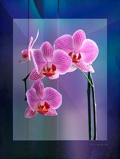 Candy Stripe Orchids Candy Stripes, Photo Art, Orchids, Digital, Plants, Plant, Planets, Orchid