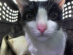 TO BE DESTROYED 2/17/15 *NYC* PRETTY COW KITTY! * Manhattan Center * Betty immediately comes soliciting at the front of the cage. Betty head-butts the assessor's hand while she places her head down and raises her hindquarters and tail. Allows the pickup and remains calm. * My name is BETTY. My Animal ID # is A1027640. I am a female black and white dom sh mix. I am about 1 YEAR I came in as a STRAY on 02/10/2015 from NY 10456, Group/Litter #K15-003693.