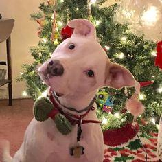 Christmas Pittie