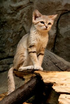 a sand cat