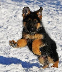 Lovely little Shepherd