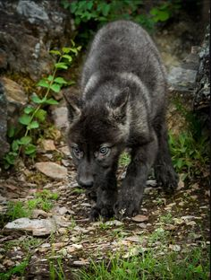 black wolf pup Get Informed with Worthy Readings. http://www.dailynewsmag.com