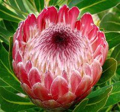 Protea pink ice