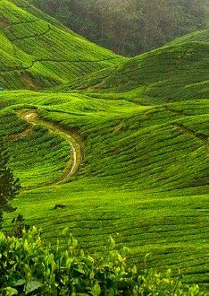 World Famous Ceylon Tea from Sri Lanka (www.secretlanka.com) #SriLanka #Ceylon #Tea #TeaPlantation