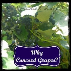 Why Concord Grapes - www.homesteadlady.com - Why would you want to plant Concord Grapes - let's talk!