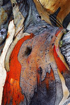 close up of snow gum bark (Eucalyptus pauciflora), The high country, Victoria, Australia.
