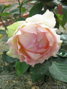 'Jalitah', rose, Hybrid Tea, Interplant Roses Netherlands 2006