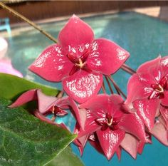Hoya megalaster Cutting IML 1099 [1099x] - $16.00 : Hoya Plants and Cuttings