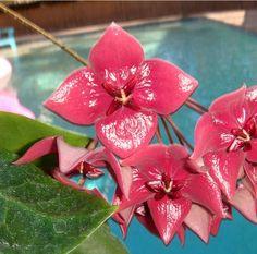 Hoya megalaster Cutting IML 1099 [1099x] - $16.00 : Hoya Plants and Cuttings