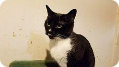 Trevose, PA - Domestic Shorthair. Meet checkers, a cat for adoption. http://www.adoptapet.com/pet/17673645-trevose-pennsylvania-cat