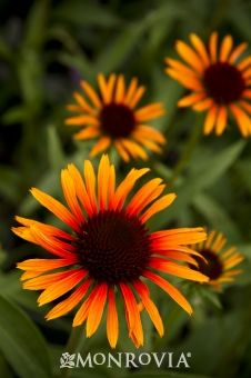 Flame Thrower Echinacea - Wide petals of deep orange-red tint to a deeper red at the base of the flame-red cone. Fantastic color for naturalized gardens, traditional beds, borders or containers. A hummingbird favorite. Will tolerate periods of drought. Herbaceous perennial.