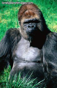 Gorilla! He looks angry!  ...UM, NO; HE LOOKS LIKE MY BROTHER!  ; b