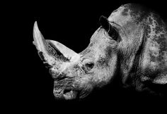 The white rhinoceros in the dark (Explore May 02, 2013) by folken4461, via Flickr