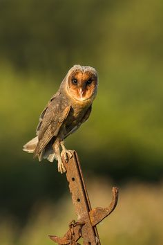 Black Barn Owl