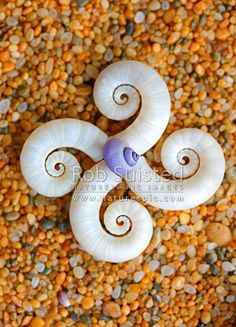 Seashells on sand in pattern. Ram's horn shell from Ram's horn squid (Spirula spirula) with Glossy Violet Snail; New Zealand beach, New Zealand (NZ) stock photo. Underwater Creatures, Underwater Life, Ocean Creatures, Spirals In Nature, New Zealand Beach, Deep Blue Sea, Shell Art, Sea And Ocean, Sea World