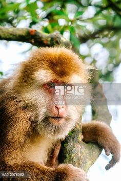 Mt. Emei, Sichuan province, China - Close up of the cute macaque in the wild. © CWIS / age fotostock - Stock Photos, Videos and Vectors