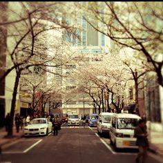 Sakura blooming near Nihonbashi stn Tokyo