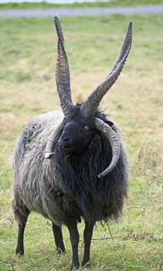 Racka is a breed of sheep known for its unusual spiral-shaped horns