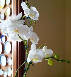 Orquídea branca Plants, White Orchids, Flowers, Plant, Planets