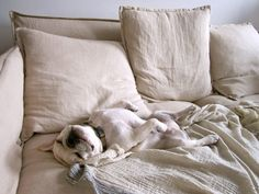 bulldog in heaven