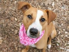 03/20/2017 SUPER URGENT ADOPT ANGEL aka MARIGOLD: TO BE DESTROYED 03/20/17 AT 8PM. Ex-pet, only a year old spayed Labrador mix. Returned multiple times although she is friendly, smart, affectionate and playful with a very high activity puppy level, allows handling and shows no aggression. She follows owner around. ID#A1079620, Manhattan NYC.