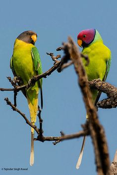 Pair of Plum-headed Parakeets - The female is on the left and the male on the right. - Colorful birds
