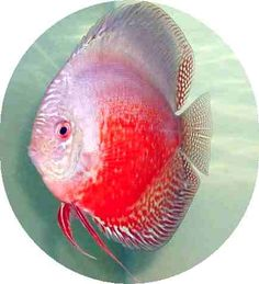 Red White Discus - 2 inch phishy superstore